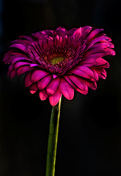 Electric Pink Petals of a Gerber Daisy Against a Black Backdrop