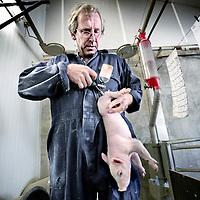 Nederland,Hedel ,2 mei 2007..Verdoving van biggen alvorens te castreren op de biologische varkensfarm..Alvorens te catreren wordt de big verdoofd met een spuitje. A anaesthetization of a piglet to be castrated.