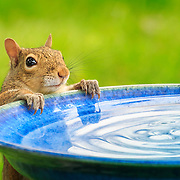 On hot summer days, the birdbath isn't just for the birds, and this thirsty squirrel is not shy about sharing. Image placed as semifinalist in 2015 Share the View international nature photography competition by Audubon Society of Greater Denver.