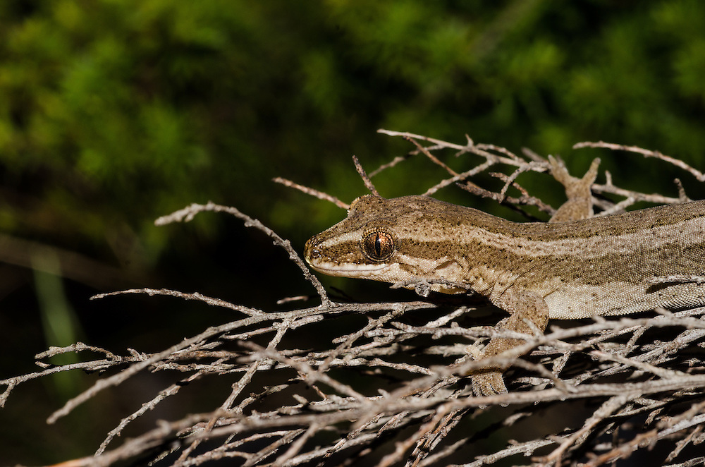 Matapia gecko,  Dactylochnemis sp. ??