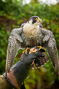 Peregrine falcon used for hunting rabbits, squirrels...hunting demonstration by falconer at  Dunrobin castle, Scotland