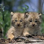 Canada Lynx, (Lynx canadensis) Pair of kittens on log. Spring. Rocky mountains. Montana. Captive Animal.