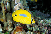 blue-blotched butterflyfish, bluespot butterflyfish,<br /> or coral butterflyfish, Chaetodon plebeius,<br /> Great Barrier Reef, <br /> Australia ( Western Pacific Ocean )