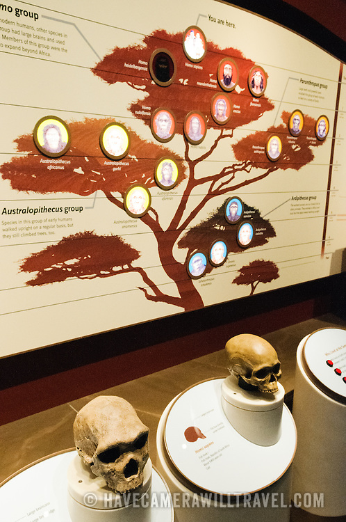 Display on human evolution at the Smithsonian Institution's National Natural History Museum in Washington DC.
