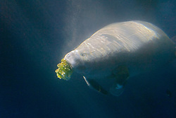 African manatee, Trichechus senegalensis, feeding on lettuce, highly endangered (c)