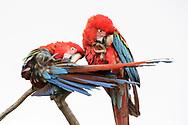 Ein Paar des Grünflügelaras (Ara chloroptera) auf einem Ast, Bonito, Brasilien<br /> <br /> A pair of Green-winged Macaw (Ara chloroptera) on a branch, Bonito, Brazil