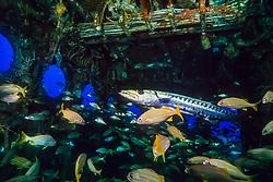 great barracuda, Sphyraena barracuda, and smallmouth grunts, Haemulon chrysargyreum, in superstructure of the USCGC Duane wreck, artificial reef, Key Largo, Florida, USA, Caribbean Sea, Atlantic Ocean
