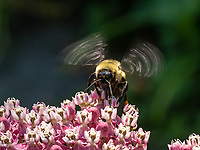 A Brown-Belted Bumble Bee feeds on Milkweed flowers in Shakespeare Garden in Central Park