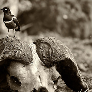 """""""Resting Place""""                                              Tanzania<br />  A Spectacular Starling rests for a moment on the skull of the Cape Buffalo."""