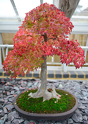 © Licensed to London News Pictures. 21/10/2012. Kew, UK A Trident Maple starts to turn fem green to red.  This fast growing maple builds thick trunks more easily than just about any other species of bonsai,  Autumn leaves on Bonsai trees in Kew Gardens in Surrey today 21 October 2012. Photo credit : Stephen Simpson/LNP