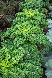 Brassica oleracea Acephala Group 'Reflex' AGM - Curly kale