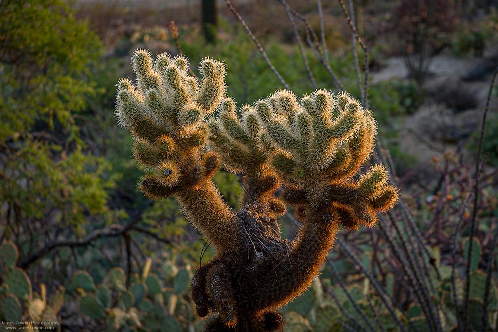 Teddy Bear Cholla cactus backlighted by the setting sun in Saguaro National Park, Arizona