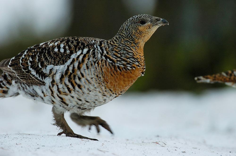Capercaillie hen (Tetrao urogallus), Lapland, Finland