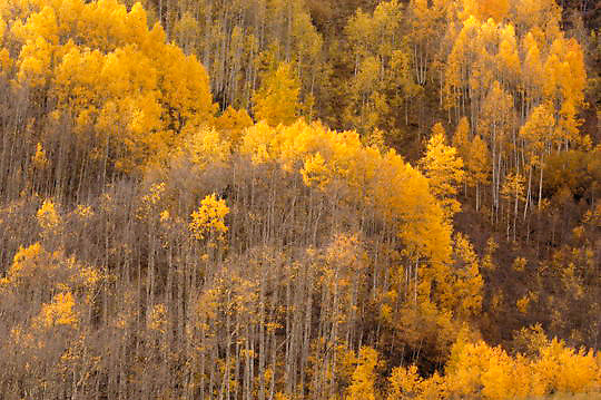 Maroon Bells Snowmass Wilderness Area during fall colors. Near Apsen, Colorado. Aspens have bright yellow leaves. Fall.