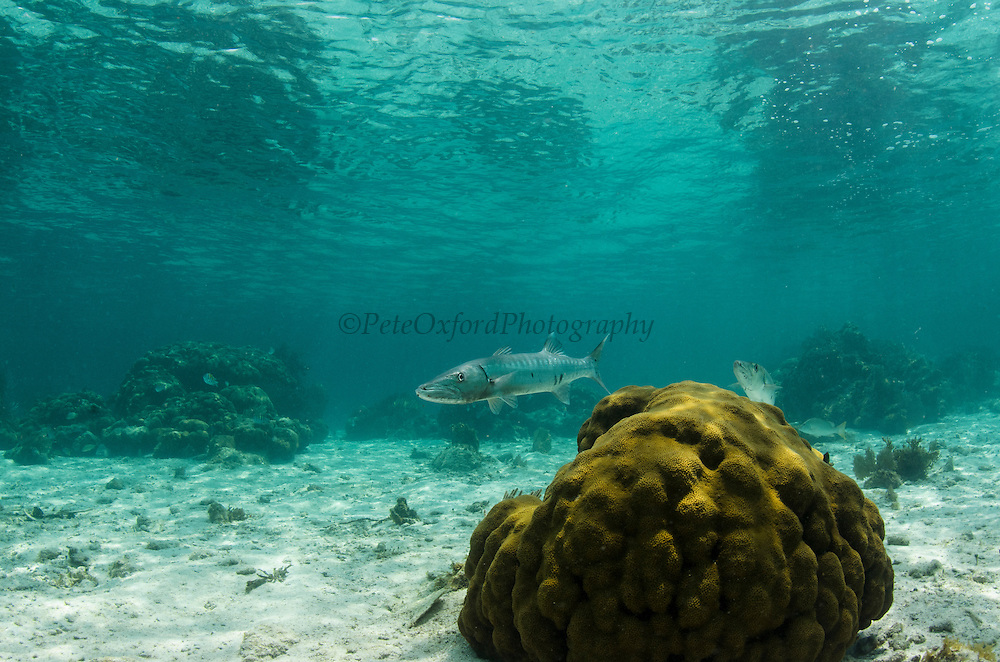 Great Barracuda (Sphyraena barracuda)<br /> Hol Chan Marine Reserve<br /> near Ambergris Caye and Caye Caulker<br /> Belize<br /> Central America