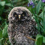 Great gray owl fledging among Mountain Bluebell flowers near nest in Montana.