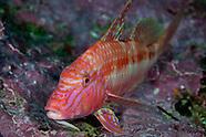Upeneichthys lineatus (Goatfish)