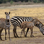 Burchell's Zebra, (Equus burchelli) Mother and baby and adult. Masai Mara Game Reserve. Kenya. Africa.