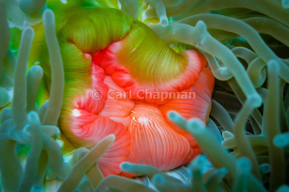 Mouth of the Magnificent sea anemone (heteractis magnifica) - Great Barrier Reef, Australia, Queensland, Australia <br /> <br /> Editions:- Open Edition Print / Stock Image