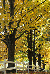 United States, Vermont, Peacham, maple trees with yellow leaves in autumn, and white fence