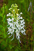 The southern white fringed orchid (Platanthera conspicua) is another of the delicate, feathery terrestrial orchids found along the Gulf Coastal Plain upwards along the Atlantic Coast into Canada where it is still sometimes found in Quebec. Usually associated with wet meadows, ditches and low pinelands, this incredibly beautiful and perfect specimen of its species was found along with about a hundred others in northeastern Florida's Osceola National Forest near some equally beautiful pitcher plants.