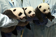 GUANGZHOU, CHINA - SEPTEMBER 18: (CHINA OUT) <br /> <br /> Panda Triplets Open Their Eyes <br /> <br /> Panda triplets are seen through a window at Chimelong Safari Park on September 18, 2014 in Guangzhou, Guangdong province of China. Panda triplets have passed their 53 days at Chimelong Safari Park<br /> ©Exclusivepix