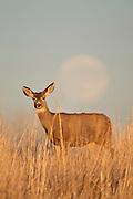 Mule deer doe (Odocoileus hemionus)and rising full moon