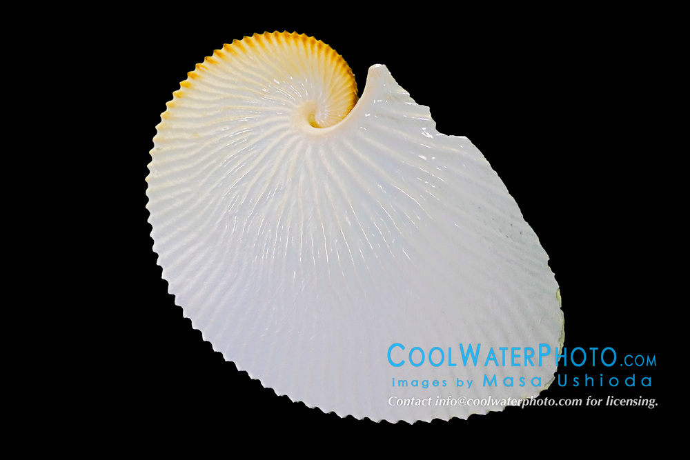 greater argonaut egg case or paper nautilus eggcase, Argonauta argo, a species of pelagic octopus which creates a paper-thin, coiling egg case, found in tropical and subtropical waters worldwide