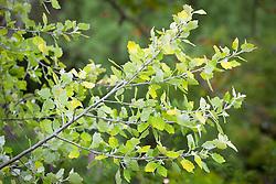 Populus alba 'Richardii'