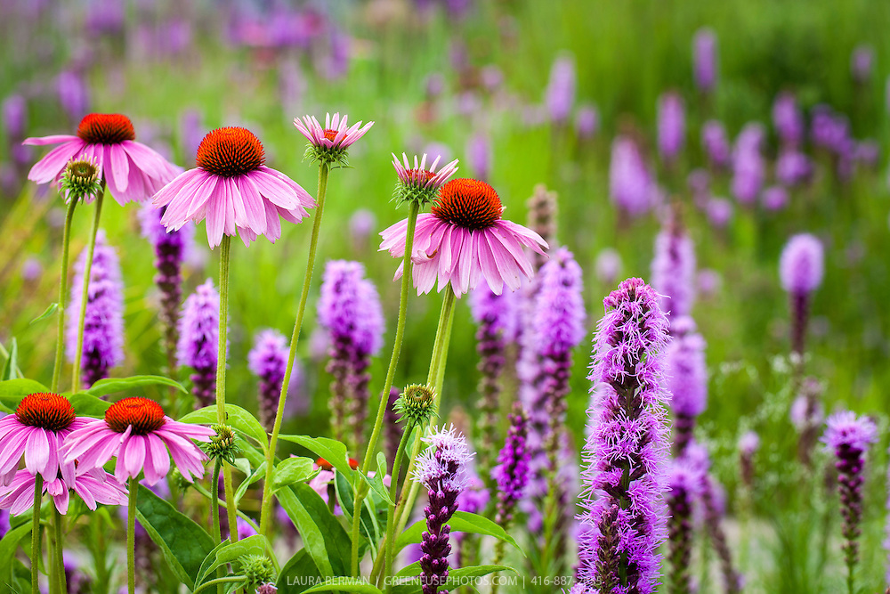 Purple Coneflower and Prairie Gayfeather,, two North American native wildflowers that are also popular garden perennials, (Echinacea purpurea and Liatris spicata)