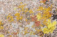 "Acarospora socialis - pale yellow<br /> Candelariella aurella - bright yellow<br /> Xanthoria elegans - orange<br /> Caloplaca albovariegata - black/dark green<br /> Xanthoparmelia maricopensis - light gray/greenish<br /> Dimelaena oreina - pale green with black ""blotches"" (very tiny)"
