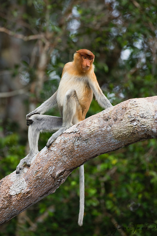 A sub-adult proboscis monkey (Nasalis larvatus) poses for a brief moment before jumping to safety, Borneo, Indonesia