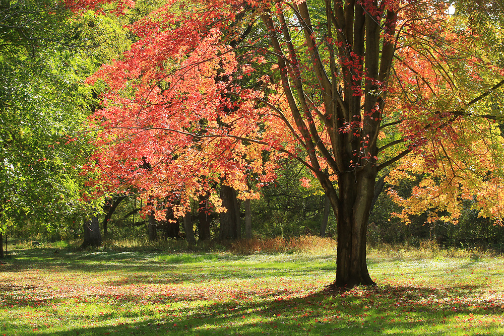 Badger Red. Trees get the red out in the Longenecker Horticultural Gardens of the UW-Madison Arboretum. Photo taken October 18. 2019.