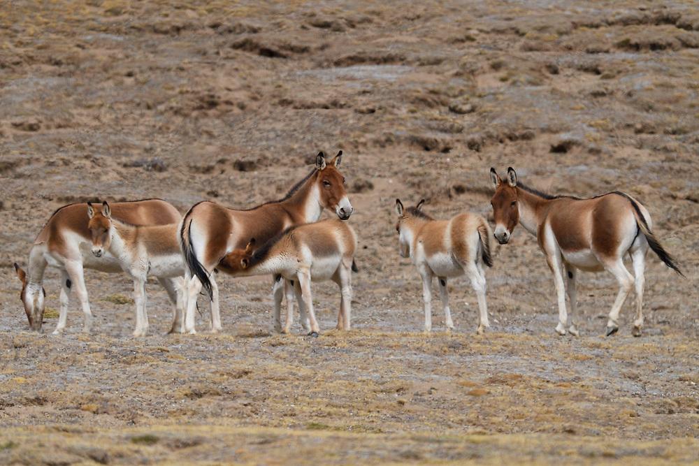 Herd of Kiang (Equus kiang), or Asian Wild Ass standing in the wetlands near Madoa, Tibetan Plateau, Qinghai, China