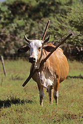 Cow With Harness