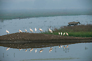 Eurasian spoonbill or common spoonbill (Platalea leucorodia) & Nilgai (Boselaphus tragocamelus)<br /> Bharatpur National Park <br /> Rajasthan, India