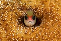 "Tufted Blenny (Mccoskerichthys sandae)<br /><br />Canales de Afuera Islands<br />Coiba National Park<br />Panama<br /><br />""buffet"" dive site"