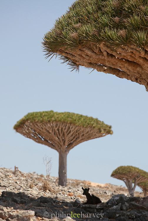 Goat sitting under Dragon Blood Trees, Dixsam, Socotra, Yemen