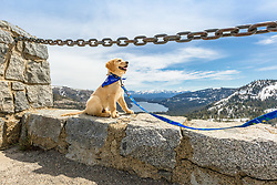 """""""Puppy Above Donner Lake 2"""" - Photograph of Golden Retriever puppy Quill with Donner Lake and Truckee, California in the background."""