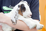 Cornwall, New York - A girls holds a 2-day-old dairy goat at Edgwick Farm in Cornwall on April 15, 2012. The farm uses milk from the goats to produce artisan cheese.