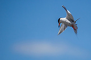 Photo Randy Vanderveen<br /> Grande Prairie, AB<br /> 2020-06-09<br /> A common tern hovers in the area sighting in its target before diving into the water to to grab a bite to eat in Bear Lake Tuesday June 9.