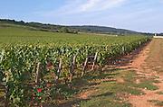 """Vineyard. """"Le Montrachet"""" Grand Cru, Puligny Montrachet, Cote de Beaune, d'Or, Burgundy, France"""