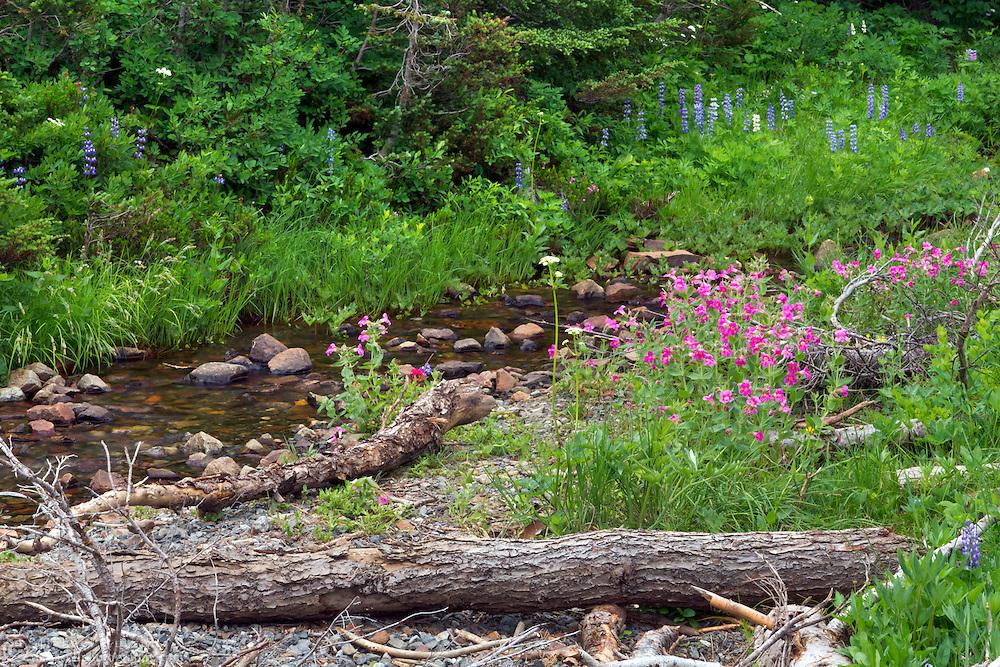 Lewis' Monkeyflowers (Mimulus lewisii) growing along Chinook Creek at Tipsoo Lake in Mount Rainier National Park in Washington State, USA.