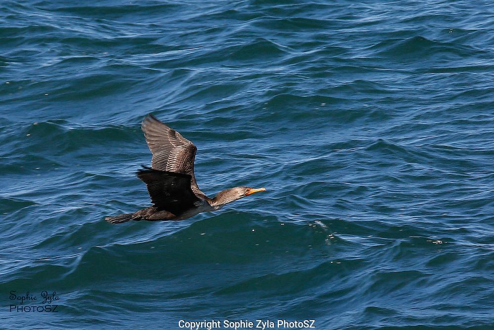 Double-creasted Cormorant in Flight