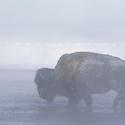 Bison (Bison bison) near Old Faithful during the winter in Yellowstone National Park.