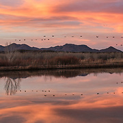Sandhill Cranes make their way back to their evening roost with evening colors from the sun to light their way. Bosque del Apache , NWR. New Mexico