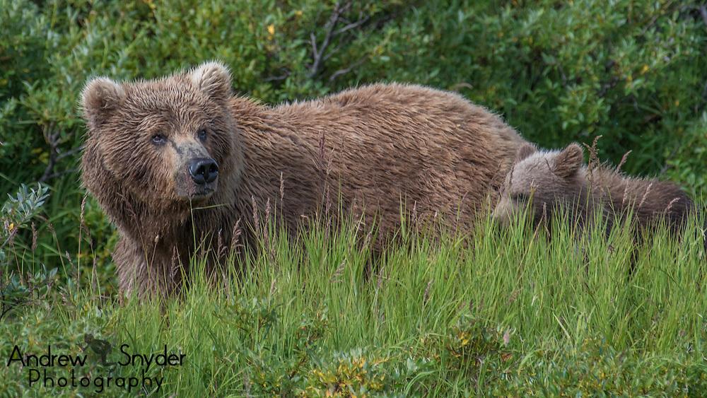A mother bear walks with her cubs - Katmai, Alaska