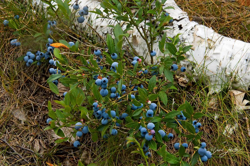 Blueberry, Vaccinium angustifolium. Ripe berries in habitat, Lively, Ontario, Canada