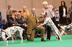 © Licensed to London News Pictures. 10/03/2016. Dog owners with their Dalmatians dog on the judging show floor during competition . Crufts celebrates its 12th anniversary as the Worlds largest dog show. Birmingham, UK. Photo credit: Ray Tang/LNP