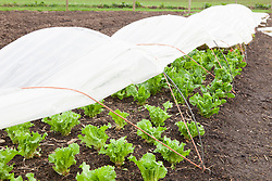 Endives growing under homemade cloche in Charles Dowding's organic vegetable garden